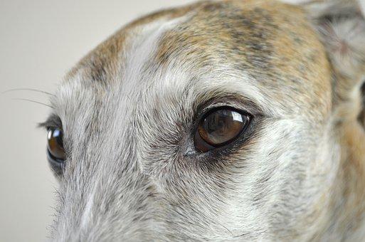 Dog, Dog Eyes, View, Dog Look, Pet, Podenko, Winddhund