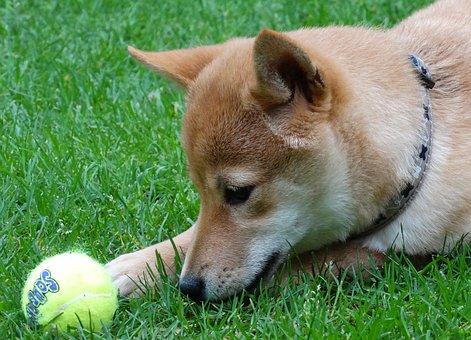 Dog, Remote Access, Shiba Inu, Pet, Play, Ball, Puppy