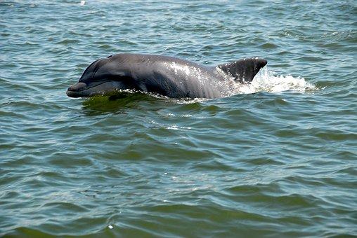 Dolphin, Wildlife, Wild, River, Ocean, Nature, Sea