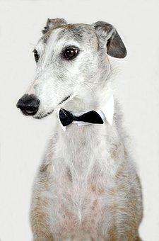 Dog, Animal, Greyhound, Spanish Greyhound, Fly, Collar