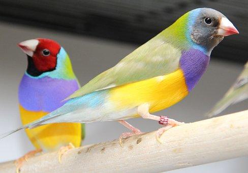 Goulds, Gouldian Finch, Bird