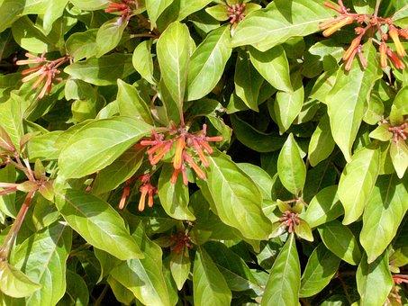 Hamelia Patens, Flower, Exotic, Plant, Tropical Flowers
