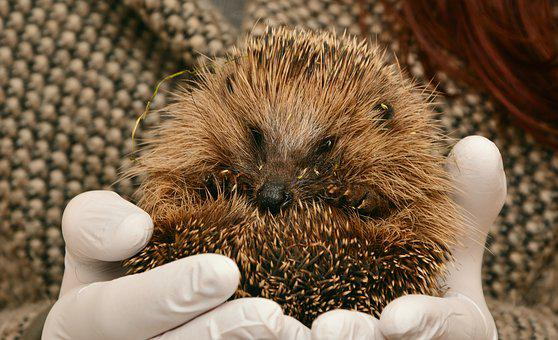 Hedgehog, Hedgehogs Hibernate, Hibernation