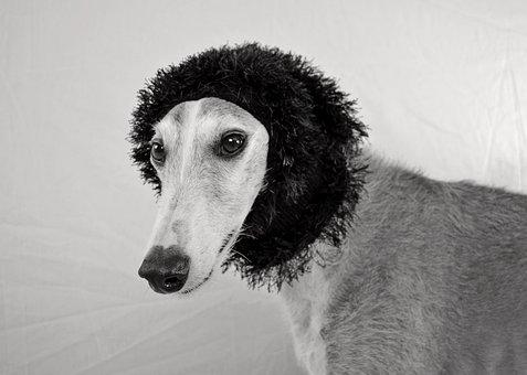 Dog, View, Greyhound, Hundeportrait, Faithful Look