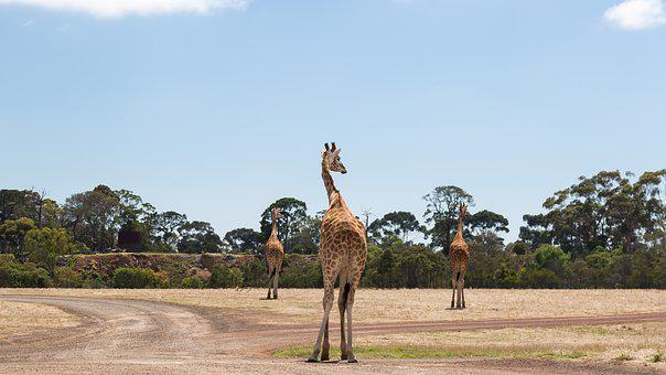 Giraffes, Werribee Zoo, Melbourne