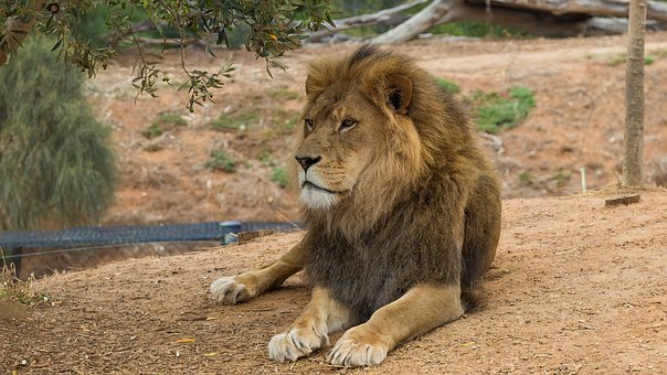 Lion, Werribee Zoo, Melbourne