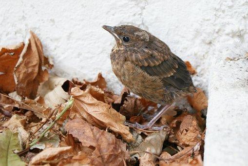 Blackbird, Blackbird Child, Bird, Hatch, Nest Stool