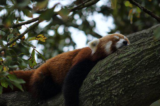 Red Panda, Zoo, Panda, Animal, Wildlife, Mammal, Nature