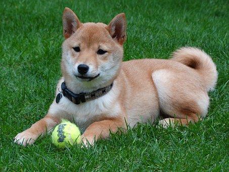 Dog, Remote Access, Shiba Inu, Puppy, Play, Ball