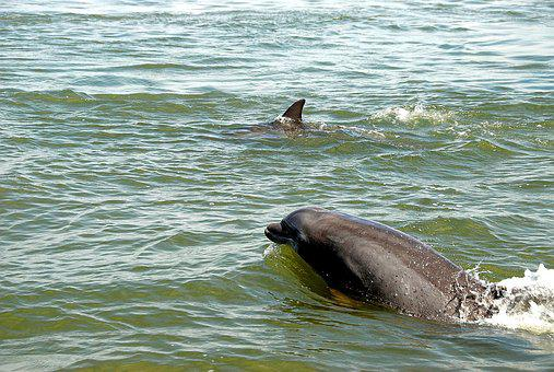 Dolphins In The Wild, Wildlife, Dolphin, Nature, Sea