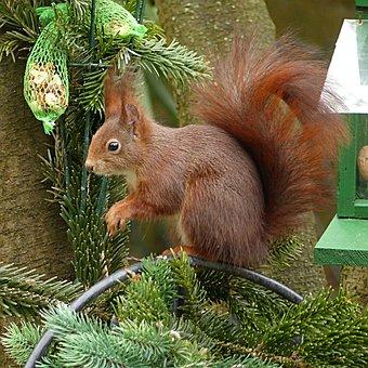 Animal, Squirrel, Sciurus Vulgaris Major, Mammal