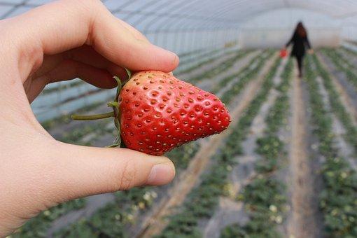 Strawberry, Hand, Strawberry Greenhouse