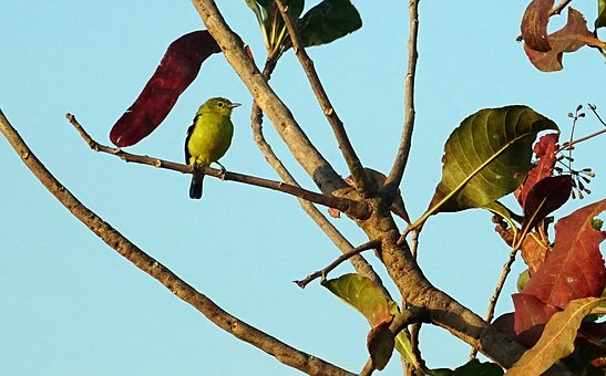 Bird, Iora, Avian, Common Iora, Aegithina Tiphia