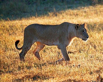 South, Africa, Sabi, Sand, Lioness, Nature, Wildlife
