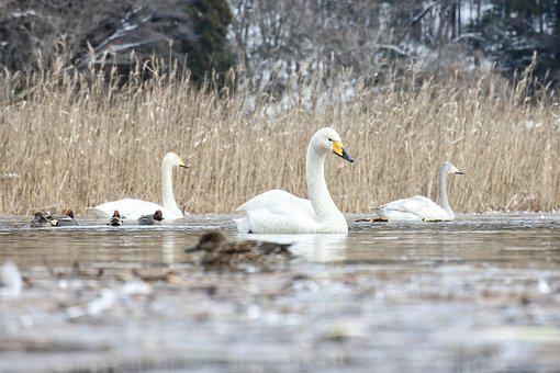 Animal, Swan, Cygnus Columbianus, Waterfowl, Swan Lake