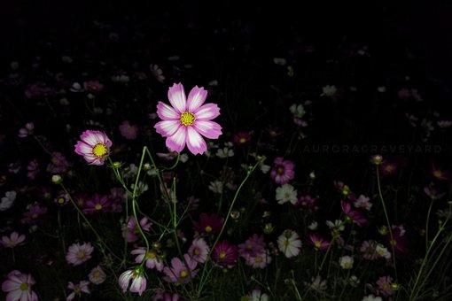 Flower, Night, Aurora Cemetery