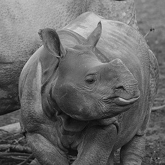 Rhino, Animal, Baby Rhinoceros, Calf, Mammal