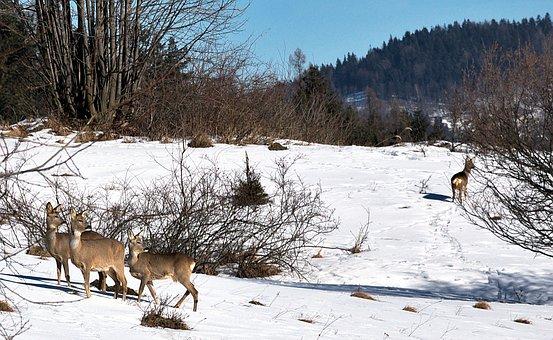 Deer, Forest, Winter, Nature, Sarna, Mountains, Beskids