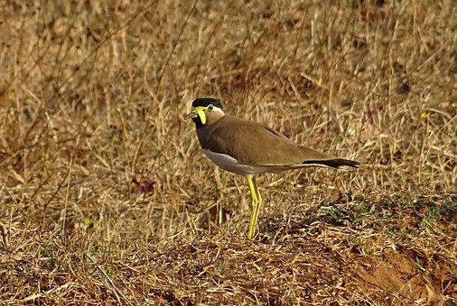 Bird, Yellow-wattled Lapwing, Vanellus Malabaricus