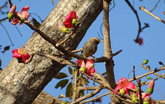 Bird, Yellow-billed Babbler, Shimul Tree