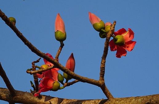Flower, Bud, Shimul, Bombax Ceiba, Cotton Tree