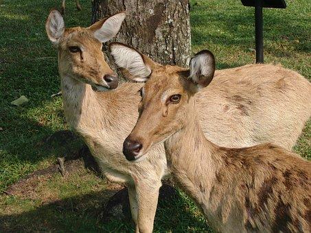 Thaminsky Deer, Cervus Eldii Thamin, Ovis, Deer