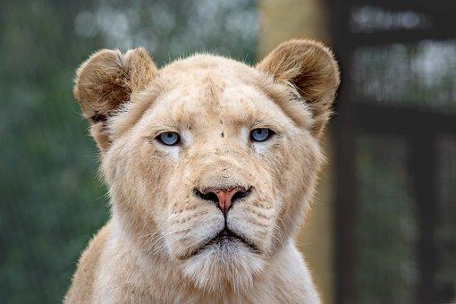 Animal, Predator, Cat, Dangerous, Creature, Close, Wild