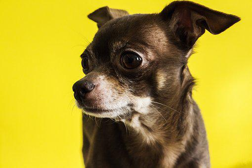 Chihuahua, Dog, Old, Animal, Pet, Puppy, Doggy, Canine