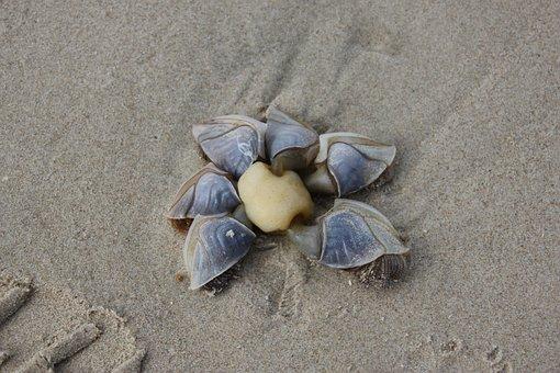 Ducks Shell, Beach, Holiday, Denmark, Shell, Sea, Sand