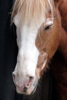 Muzzle Horse, Horse's Head, The Nostrils, Eyes, Bangs