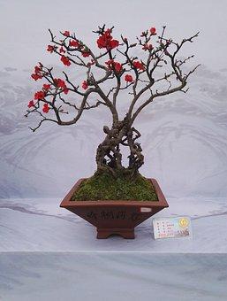 Bonsai Exhibition, Flower, Kumquat, Begonia Flower