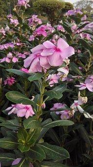 The Pink Flowers, Flowers, Flower Garden, Nature, Pink