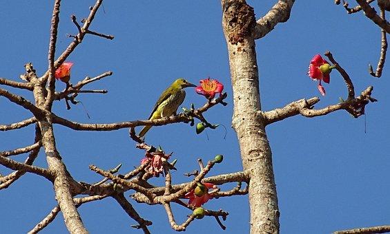 Bird, Golden Oriole, Flower, Shimul, Bombax Ceiba