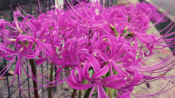 Lycoris, Radiata, Flower