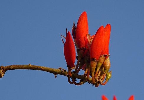 Flower, Rythrina, Indian Coral Treee, Lenten Tree