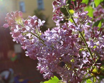 Lilac, Beauty, May, Petal, Flora, Focus, Closeup, Soft
