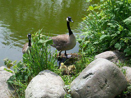 Canada Goose, Goose, Waterfowl
