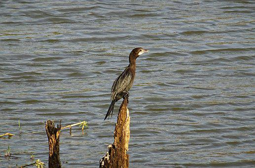 Bird, Water Bird, Little Cormorant, Nature, Wildlife