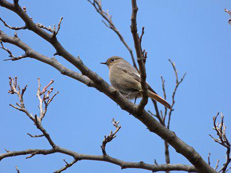 Black Redstart, Smoked, Bird, Phoenicurus Ochruros