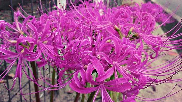 Lycoris, Radiata, Flower