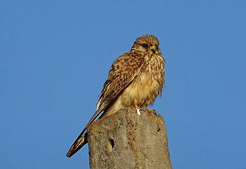 Bird, Raptor, Hunter, Predator, Common Kestrel, Female