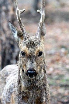 European Roe Deer, Roebuck, Wild Goat, Roe