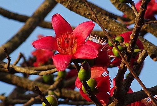 Flower, Shimul, Bombax Ceiba, Cotton Tree