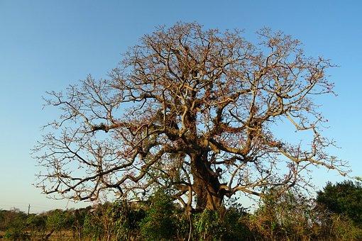 Tree, Old, Heritage, Flower, Shimul, Bombax Ceiba