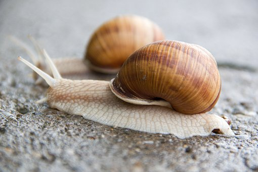 Snail, Conch, Slimy