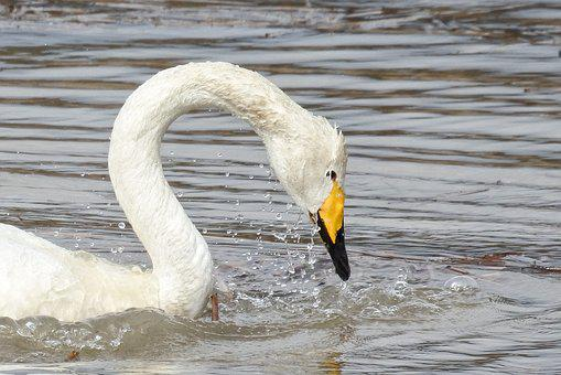 Animal, Swan, Cygnus Columbianus, Swan Lake
