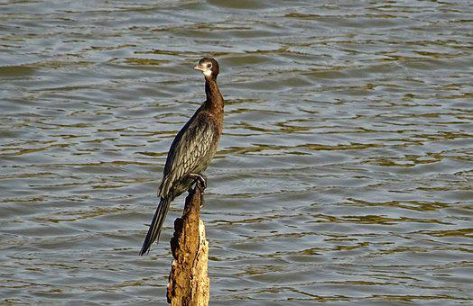 Bird, Water Bird, Little Cormorant, Microcarbo Niger