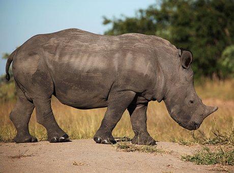 South, Africa, Sabi, Sand, Rhino, Wildlife, Safari