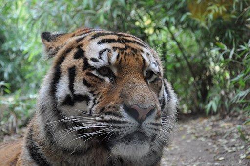 Allwetterzoo, Münster, Siberian Tiger
