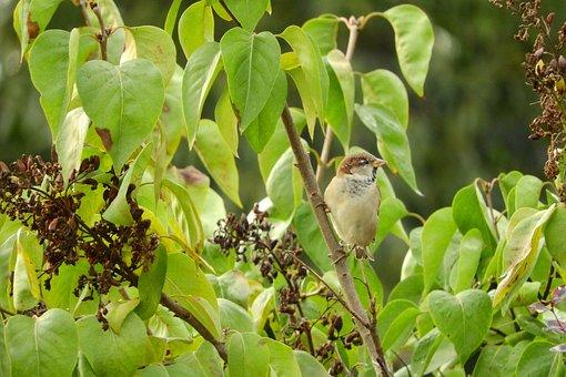 Passer Domesticus, Bird In The Bush, Lilac